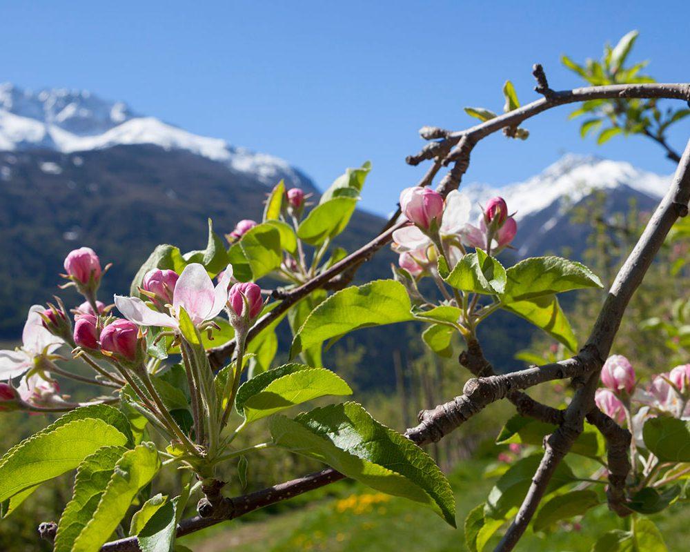 Apfelbluete Vinschgau