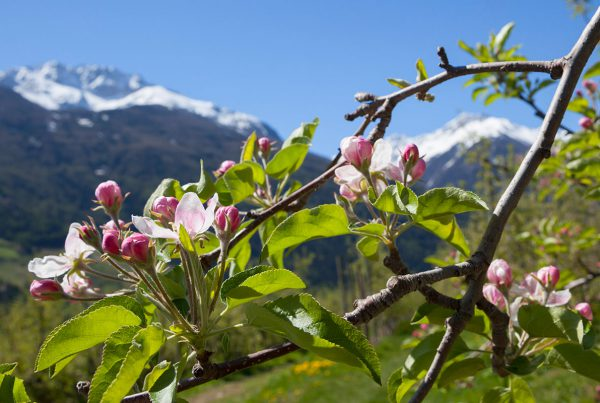 Apple Blossom Venosta Valley